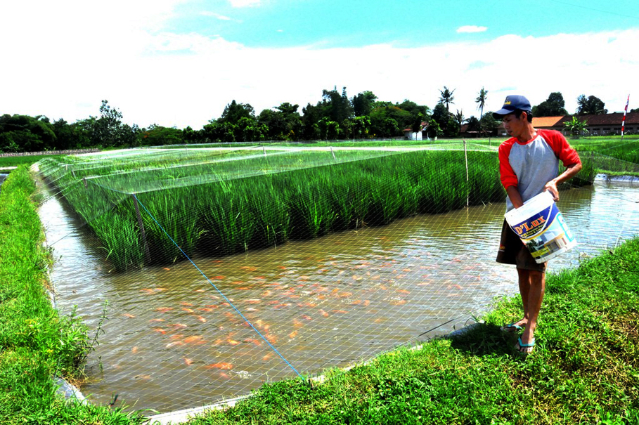 Rice-Fish Farming: Sleman Farmers Kill Two Birds With One ...